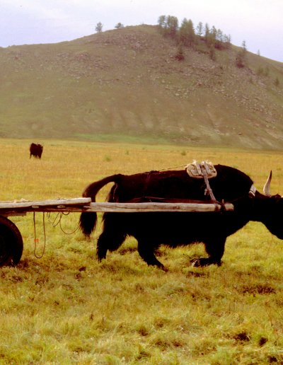 khan khentii_yak cart
