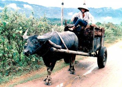 buffalo cart