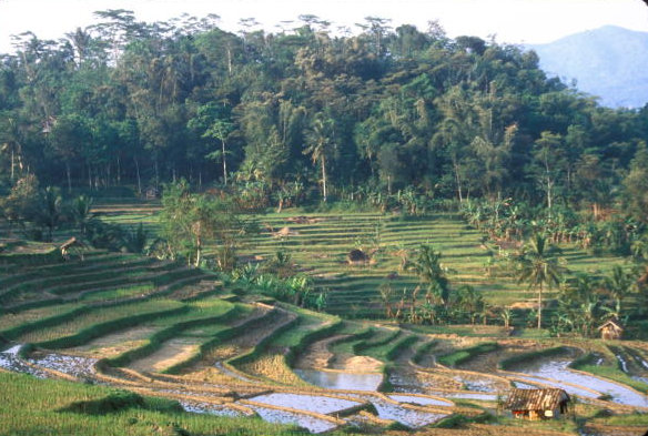 garut_rice terraces