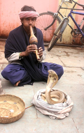 gaya_snake-charmer and cobra