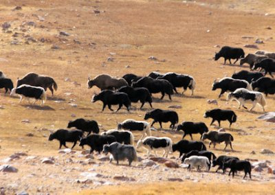 karakoram highway_khunjerab pass_yaks