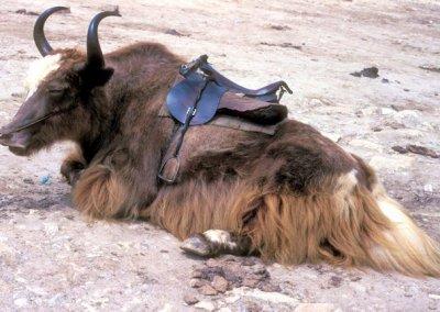 lahaul_rohtang pass_domesticated yak