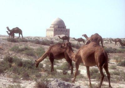 merv_camel herd with sultan sanjar mausoleum