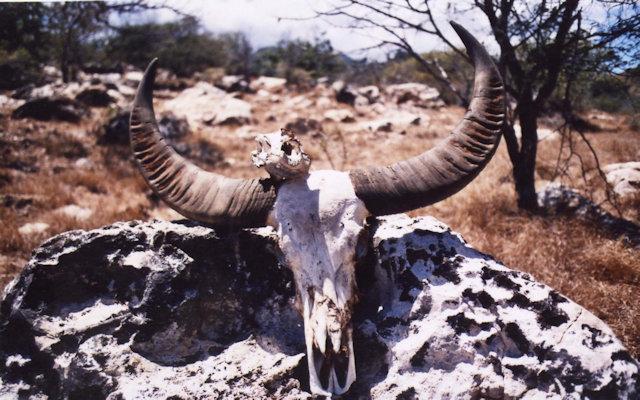 rinca_buffalo horns