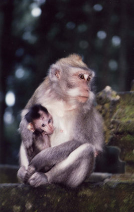 sangeh_ macaque and young