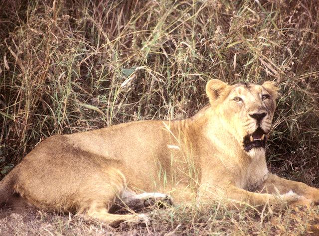sasan gir_gir forest_asiatic lioness