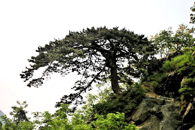 tai shan_wudafu pine