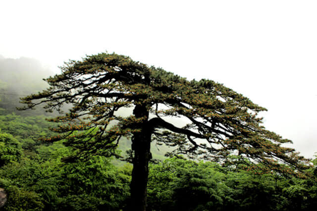 huangshan_trees