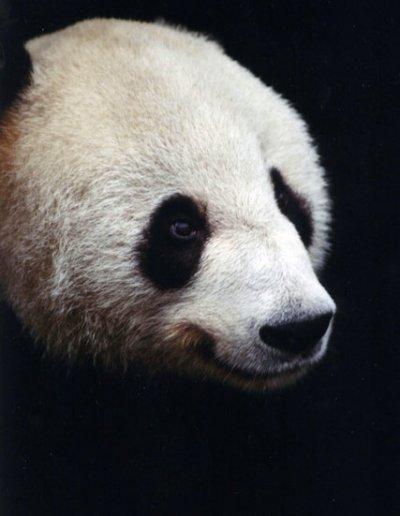 chongqing_giant panda