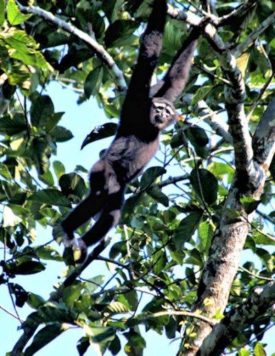 lawachhara_hoolock gibbon