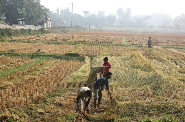 parbatipur_cultivation