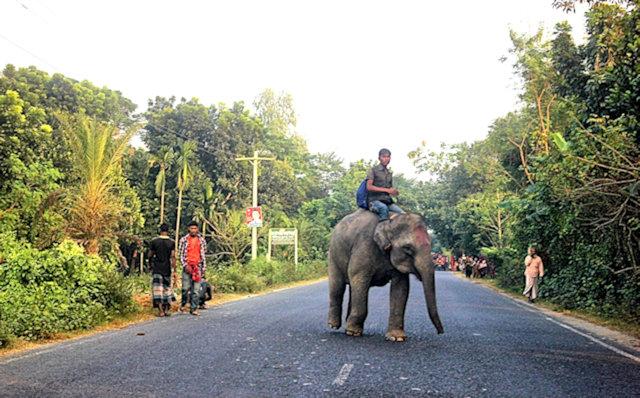 sirajganj_elephant