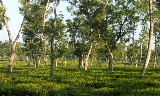 srimangal_tea plantation