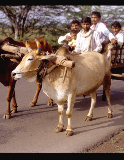 maharashtra_bullock cart
