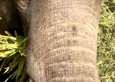 bandhavgarh_domesticated elephant