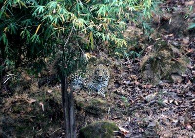 bandhavgarh_leopard