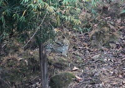 bandhavgarh_leopard_2