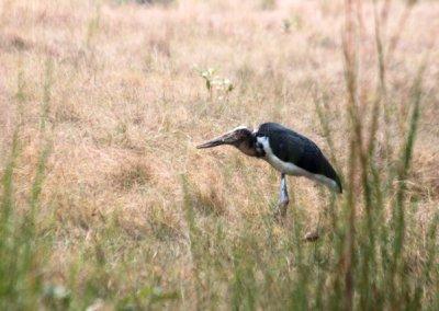 bandhavgarh_lesser adjutant stork