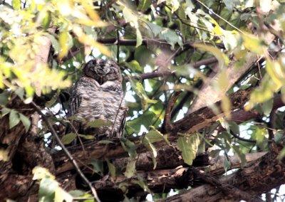 bandhavgarh_mottled wood owl