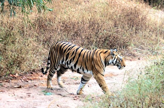 bandhavgarh_tiger