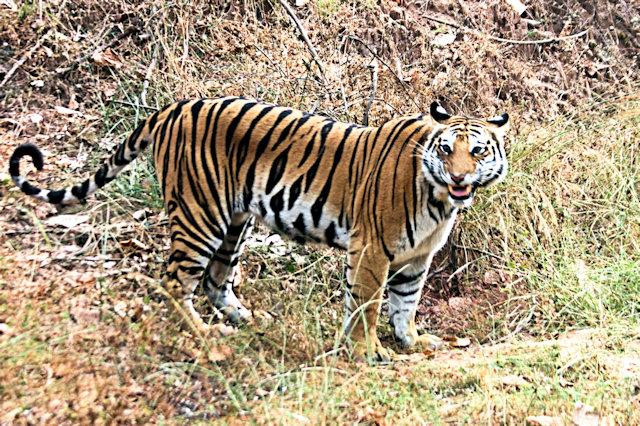 bandhavgarh_tiger_2
