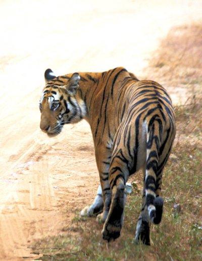 bandhavgarh_tiger_3