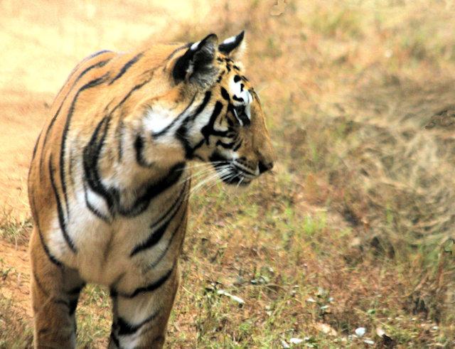bandhavgarh_tiger_4