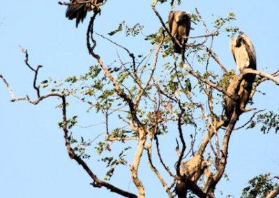 bandhavgarh_vultures