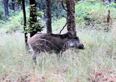 bandhavgarh_wild boar