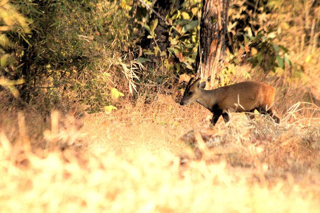 kanha_barking deer