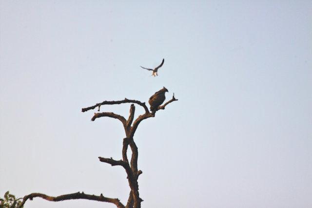 kanha_crested hawk-eagle