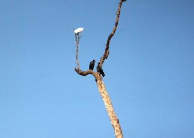 kanha_egret and black ibis