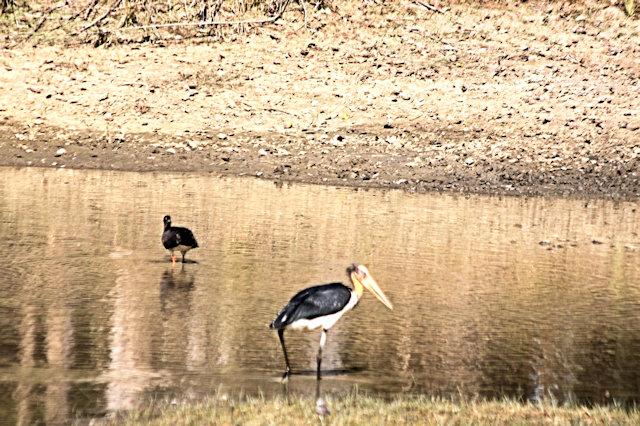 kanha_lesser adjutant stork and black storks