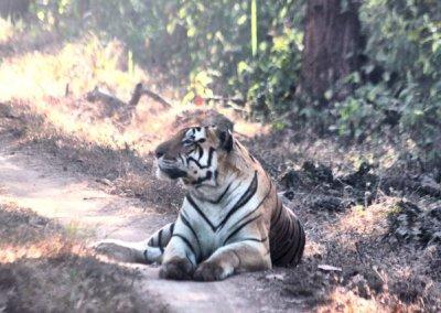 kanha_tiger