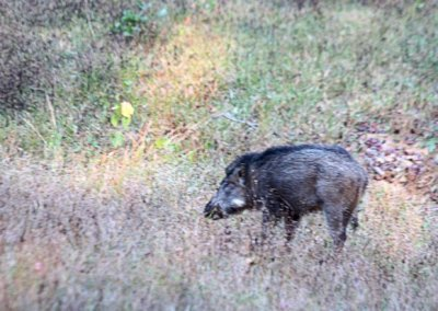 kanha_wild boar