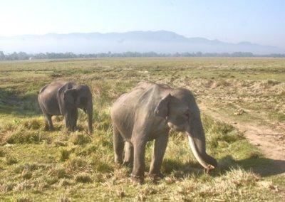 kaziranga_wild elephants