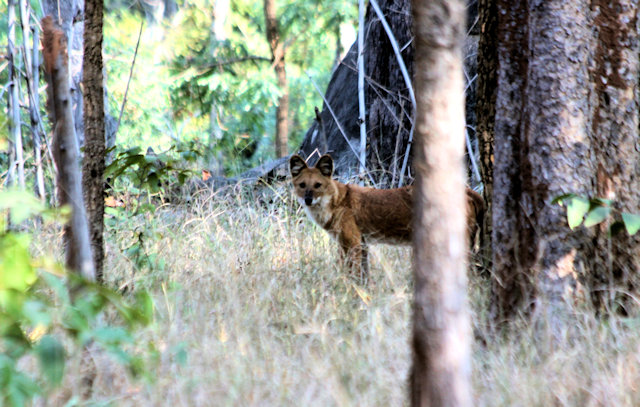 pench_dhole