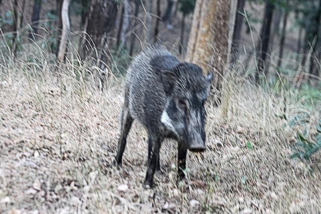 pench_wild boar