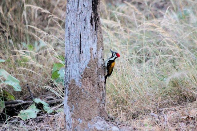 pench_woodpecker