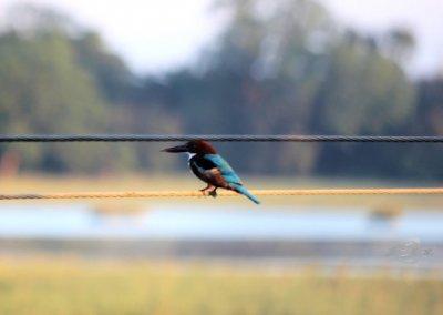 pobitora_kingfisher