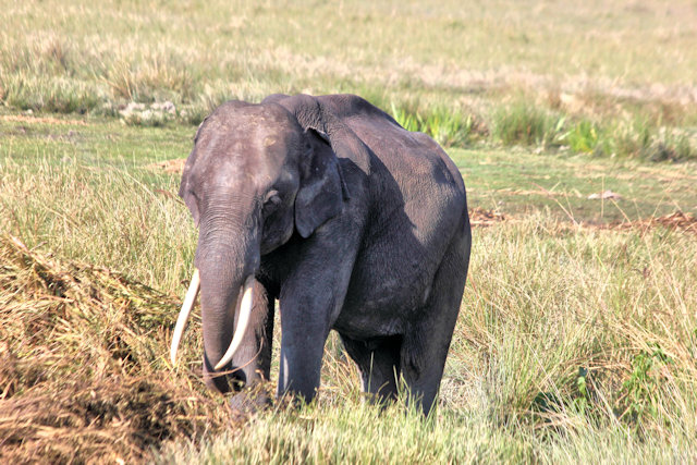 kaziranga_domesticated elephant