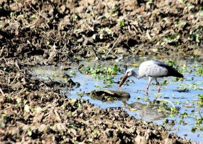 kaziranga_open-billed stork