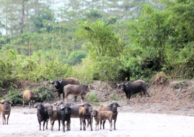 nameri_feral water buffalo