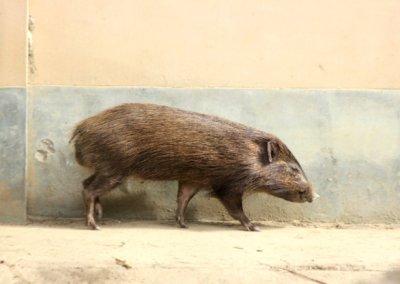 nameri_pygmy hog