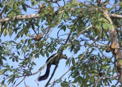 garampani_wildlife sanctuary_malaysian giant squirrel