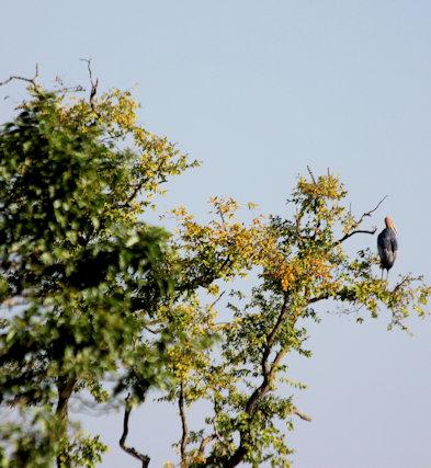 kaziranga_adjutant stork