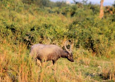 kaziranga_feral water buffalo
