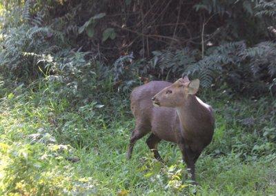 kaziranga_hog deer