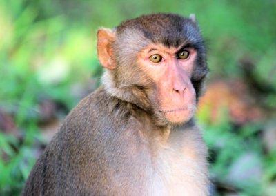 kaziranga_macaque