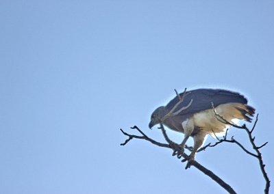 kaziranga_pallas' eagle